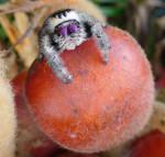 Sago Cycad Seed