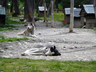 Huskies by aeremita