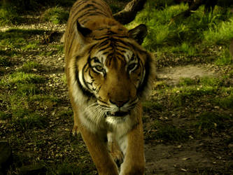 Zoo 3: The Noble Tiger by aeremita