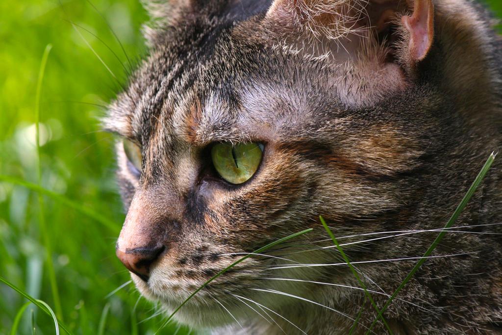 Brown Kitty by tiggytiger2012