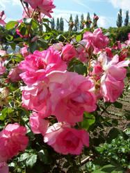 Fleur au Chenonceau