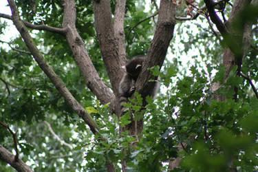 Raccoon 5 by Vic-The-Raccoon