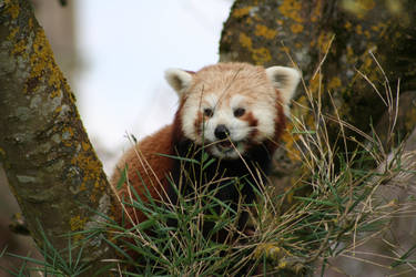 Red Panda nom by Vic-The-Raccoon