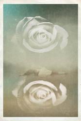 white roses by Saidge42