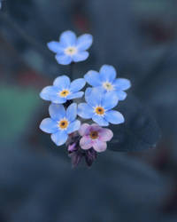 Cold Forget-me-nots by Roxikf