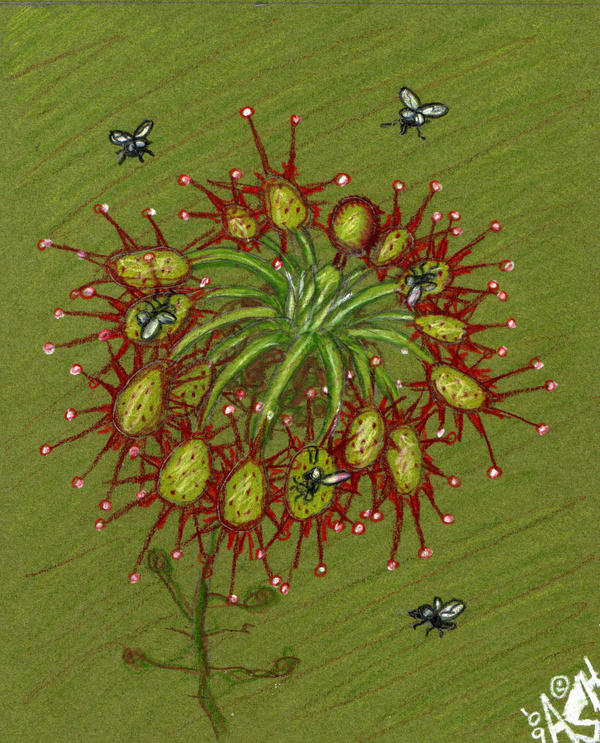 Sundew Plant Drawing