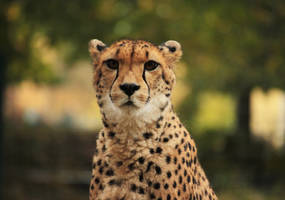 Wondering Cheetah by an3tt