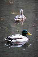 Ducks in the Pond by an3tt