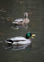 Ducks talking in the Pond by an3tt