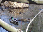 Duck Stock