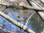 Duck Stock2