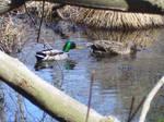 Duck Stock 4