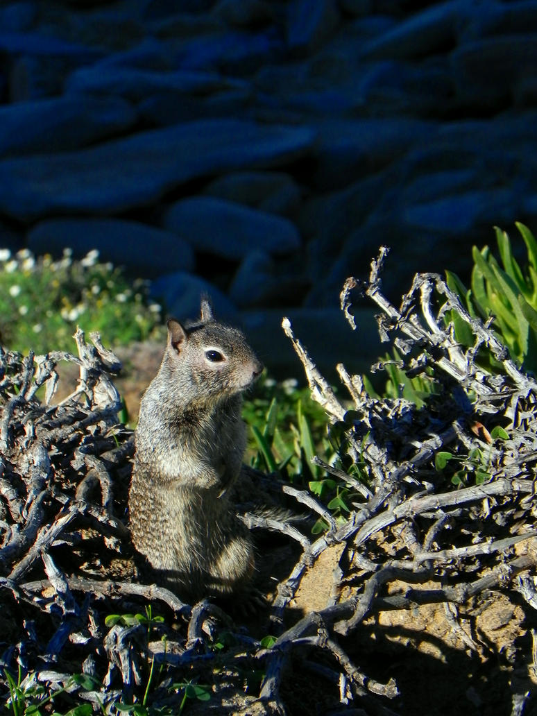 California Ground Squirrel by Blackfoxx24