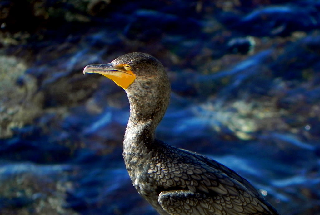 Double-Crested Cormorant by Blackfoxx24