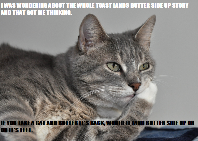 Portrait of a surprised cat Scottish Fold Straight, Cat sleeping ...