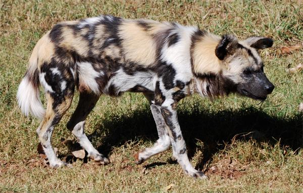 African Wild Dog by Rabastan