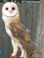 Barn Owl 1 by natureflowerstock