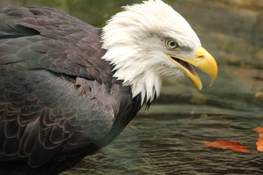 Royal bird by Ampata