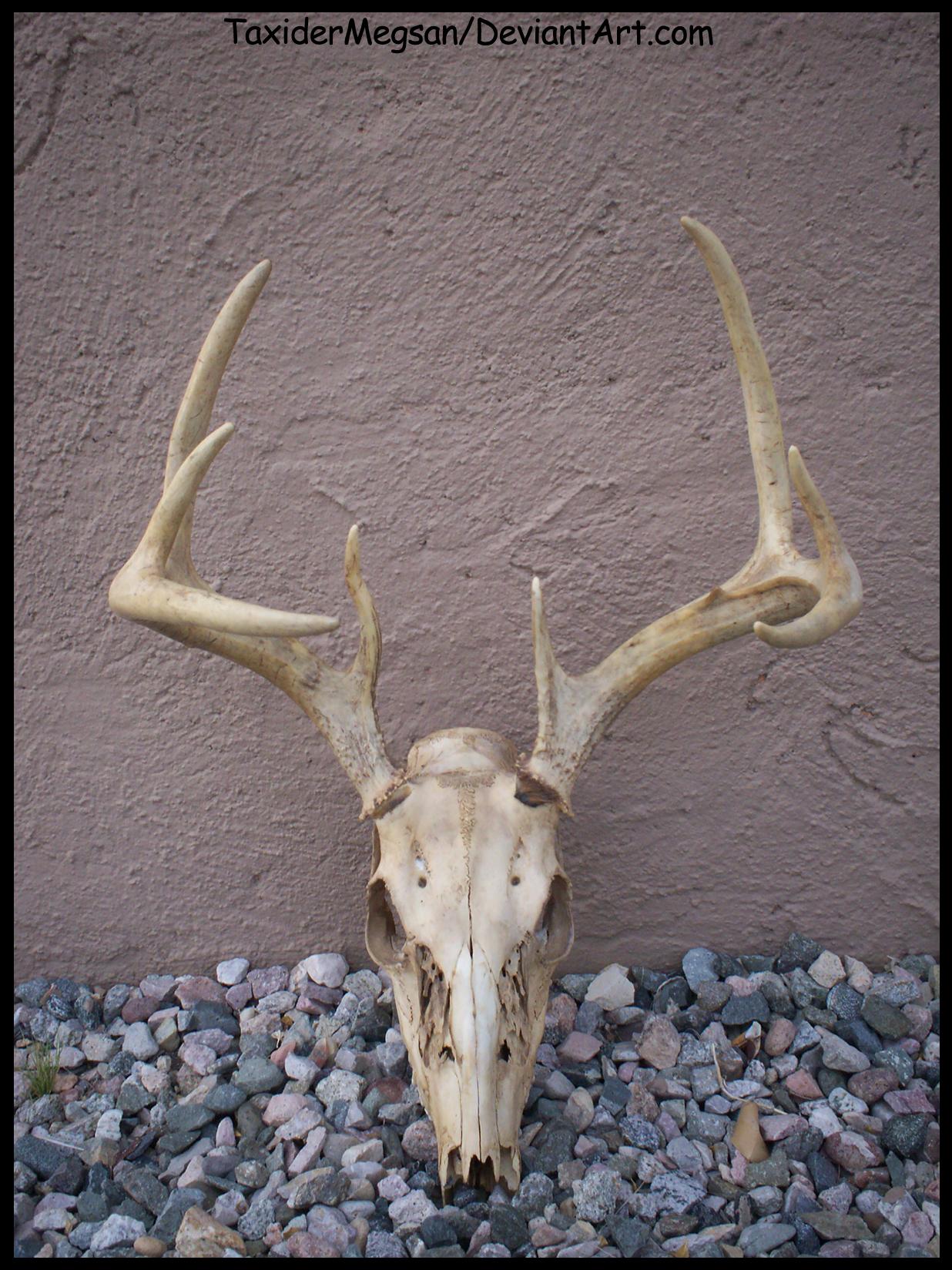 WhiteTail Deer skull -TaxiderMegsan- by TaxiderMegsan on DeviantArt