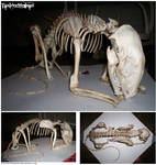 Articulated Male Raccoon Skeleton -TaxiderMegsan-