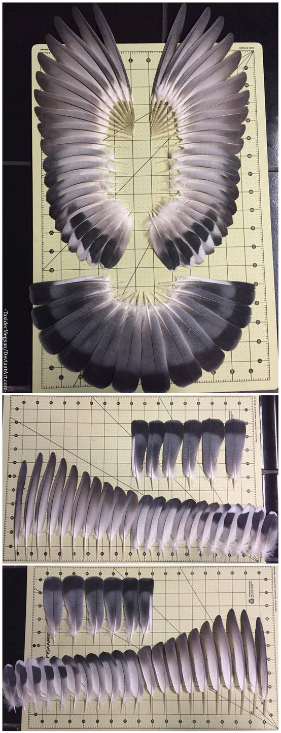 Complete Set of Pigeon Feathers SOLD by TaxiderMegsan