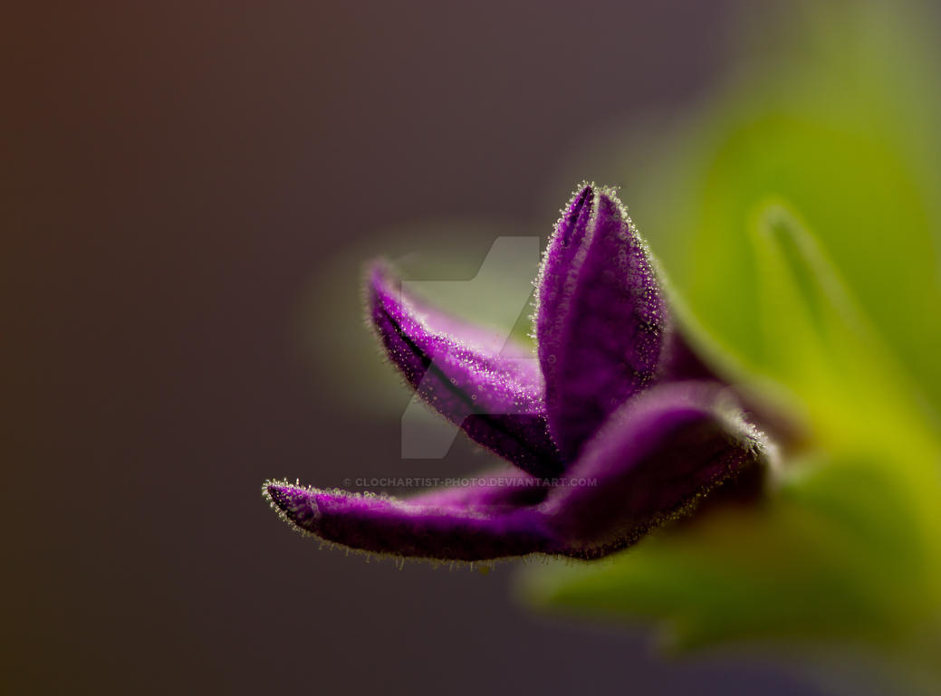 calibrachoa waiting for color explosion... by clochartist-photo