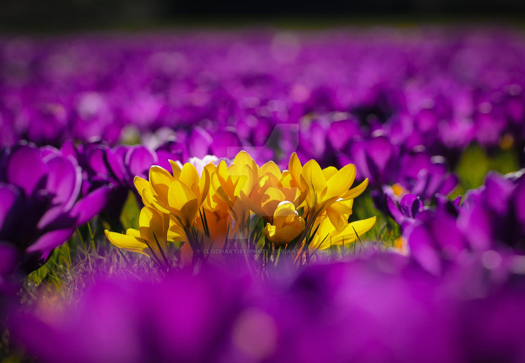 a lot of purple and some yellow... by clochartist-photo