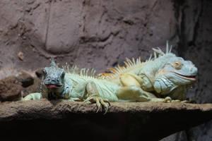 Iguana by Sabbelbina