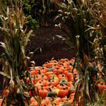 Pumpkin Stock 006