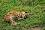 Hyena Stock