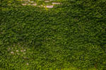 Ivy Wall Texture Stock