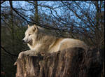 Arctic wolf by caro77