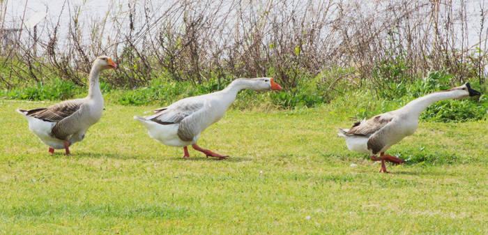 Goose Goose Goose by RobertRobledo