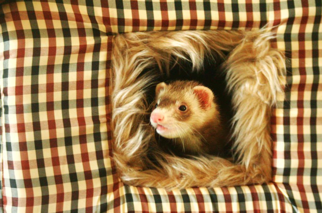 Ferret by Elmyzabeth