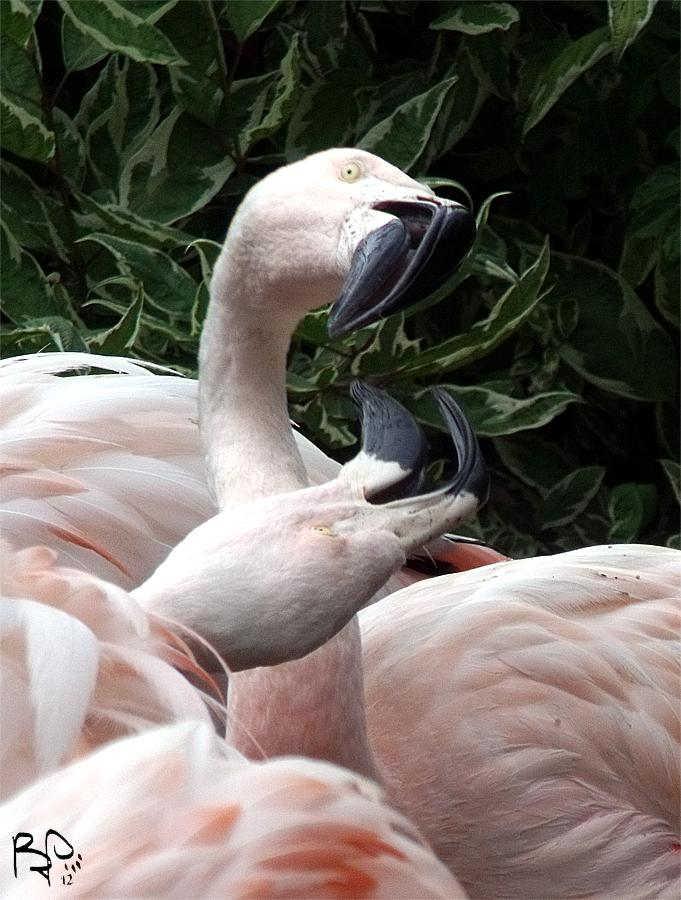 Fighting Flamingos by FiatLupi