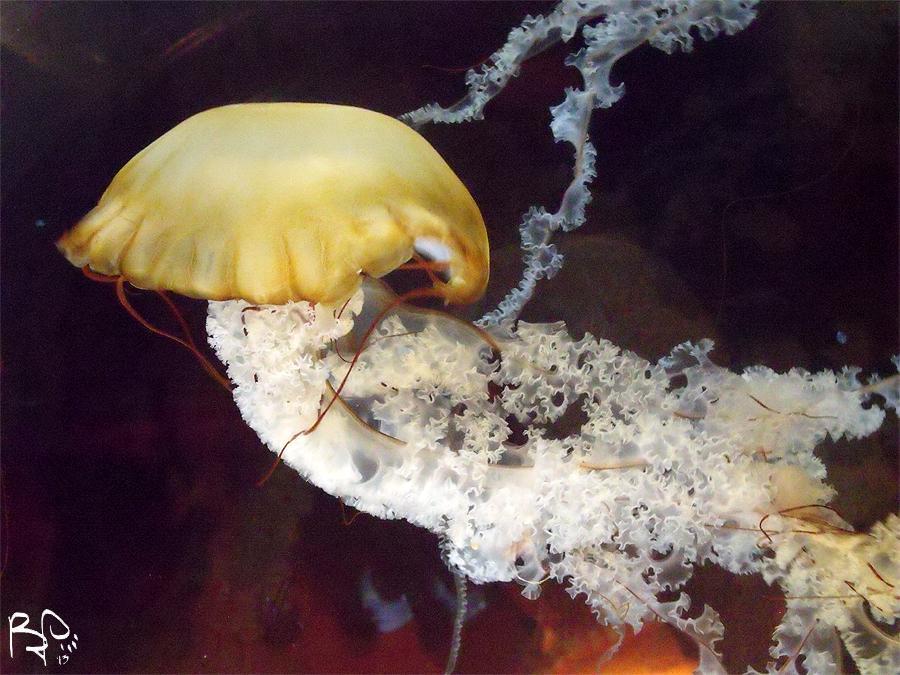 Northeast Pacific Sea Nettle by FiatLupi