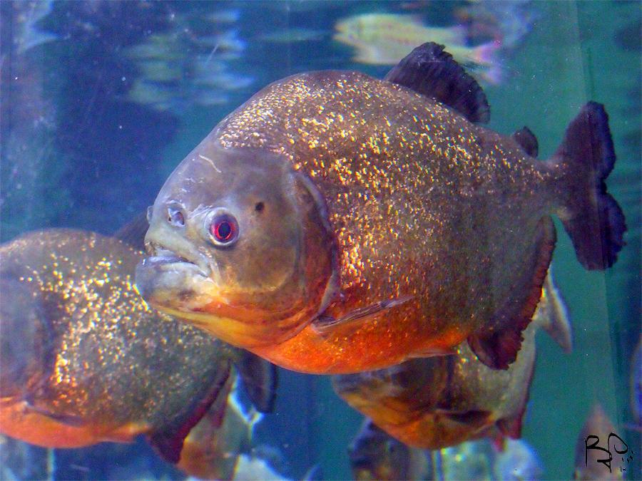 Piranha by FiatLupi