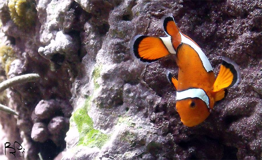 Clownfish by FiatLupi