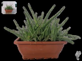 Aloe Vera Stock