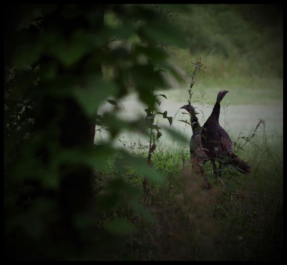 Wild Turkies1 by damndansdawg