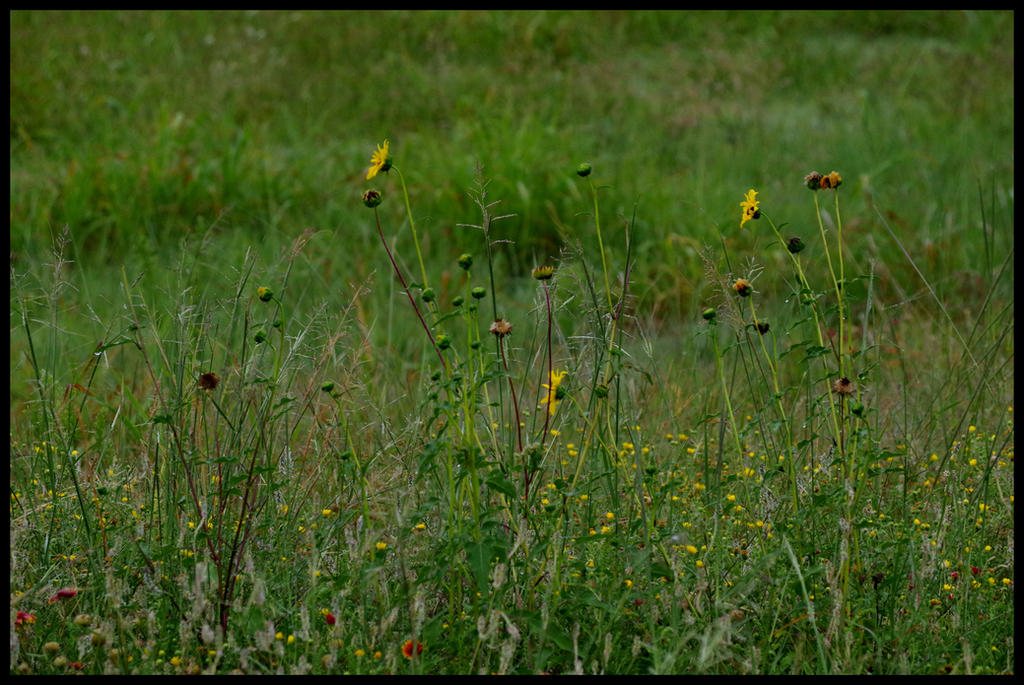 Prairie Flowers by damndansdawg
