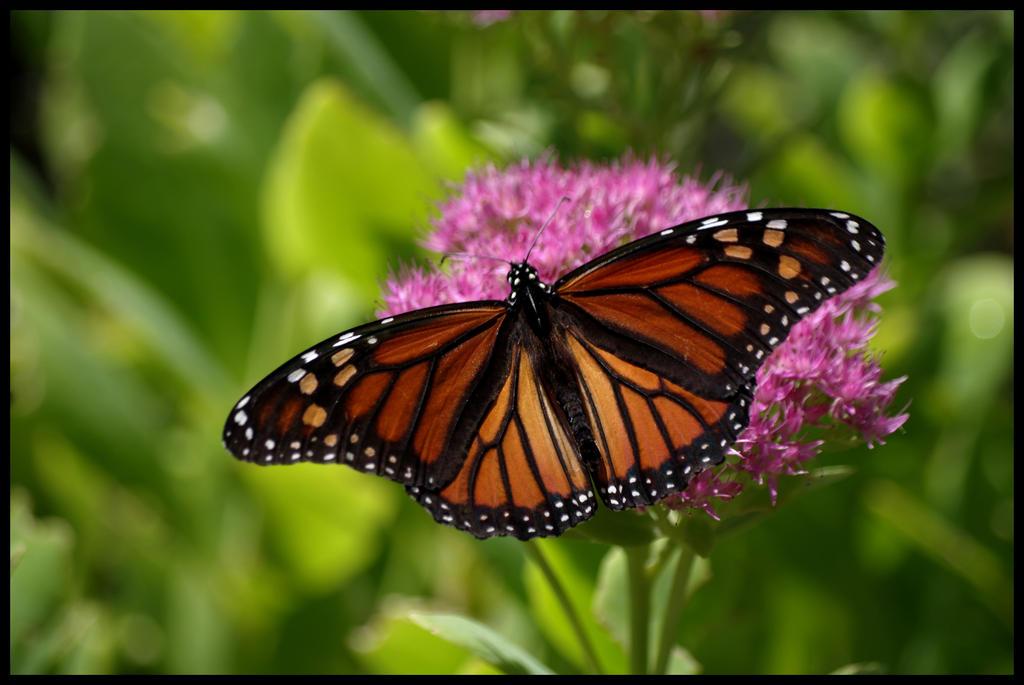 Monarch by damndansdawg