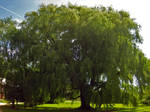 Old Willow Stock