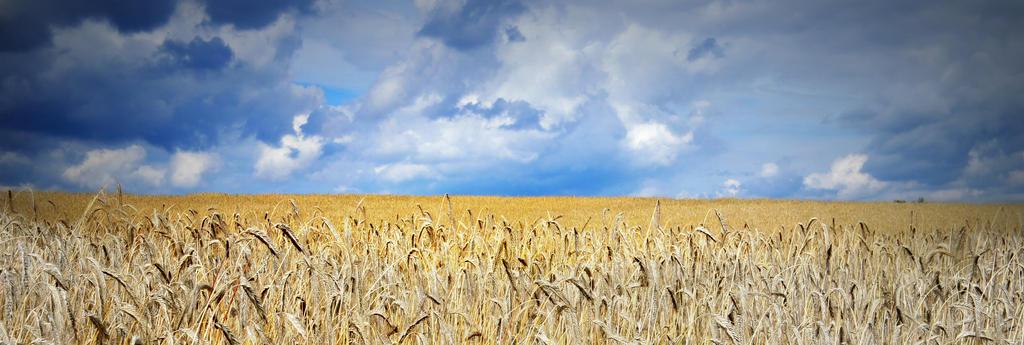 cornfield by Chococosmos