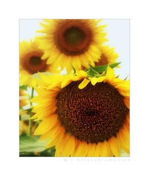 .SUN flower.