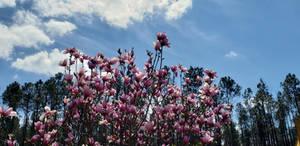 Sunny Tulip Tree