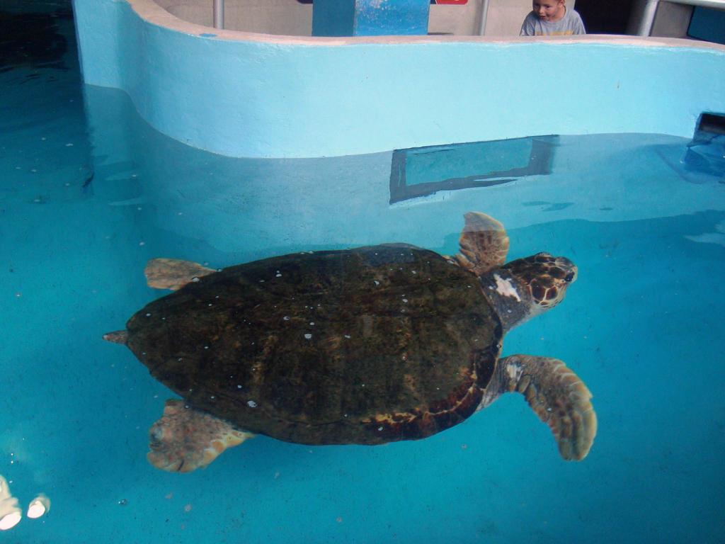 For Scale: Loggerhead Turtle by AliasBurn