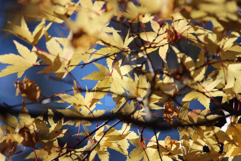 Japanese Maple (yellow) by greyloch-md