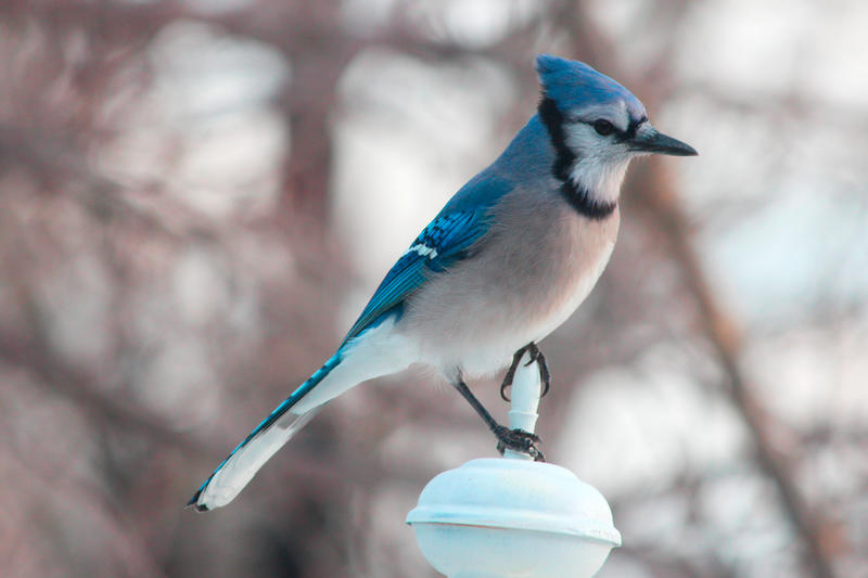 A Blue jay posing on a lamp post by greyloch-md