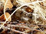 Quail Nest one by CharlesNissen